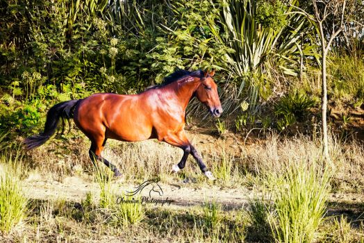My gorgeous Standardbred gelding Whiskey... by ObsessionNZ