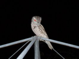 Owl on Clothesline by Snitz07