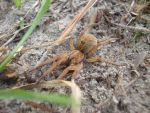 Nature Wolf Spider 3 by OctoRed77x