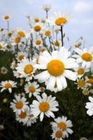 Day of the Daisies by yfkar