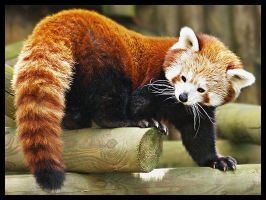 Red Panda 1 by DeadlyDonna