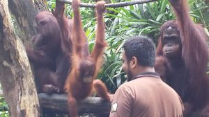 Orangutan Feeding session by Roses-and-Feathers