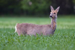 Doe by JMrocek