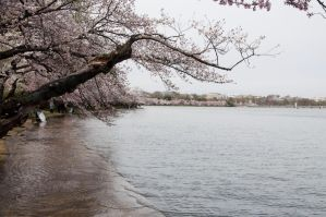 Cherry Blossom Festival 022 by FairieGoodMother