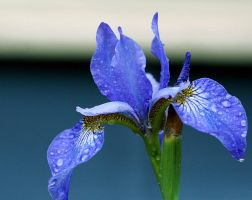 Blue Flower by Madz4ever