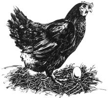 poule by Ovolaris