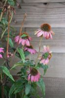 coneflower by ingeline-art