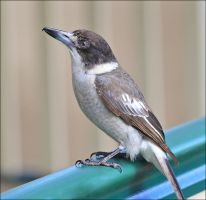 Barney The ButcherBird by Firey-Sunset