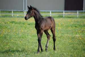 Graying Bay RPSI Filly - 01 by horsiexstock