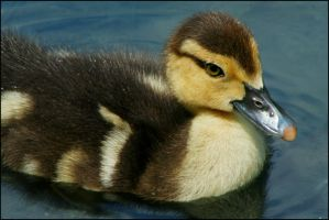 Muscovy Duckling by RoxMad