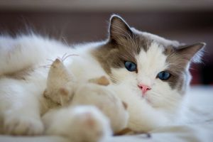 Blu bicolor ragdoll cat by Almirenaa