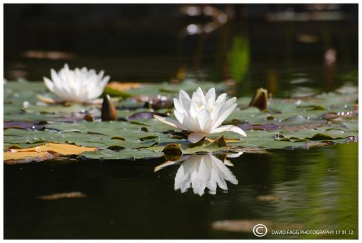Water Lily 1 by snappy-dave