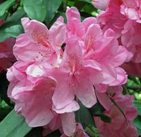 Pink rhody by chop-stock
