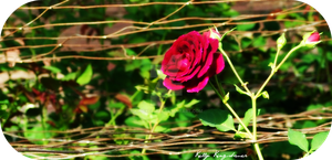 Bright red roses by kingkell12