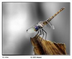 Silver Macro by waleed-DP