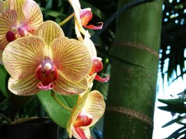 Yellow Orchid by EngelderMusik