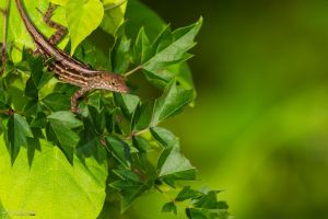 Brown anole on some vines by LordMajestros