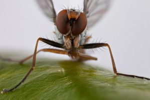 Small Fly 2 by mant01