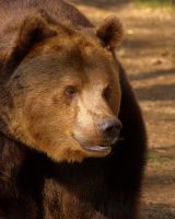 Brown Bear by naturelens