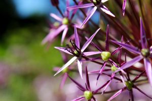 Star of Persia - Allium christophii by Heart-Luck