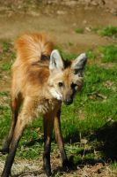 Maned Wolf by travisdelongchamp