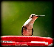 Ruby-Throated Humingbird Female by caillteone