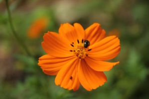 bug on an orange flower by rayna23