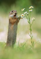 Ground Squirrel by JulianRad