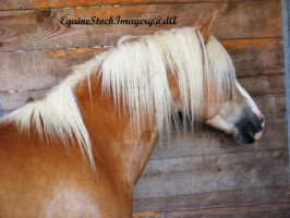 Haflinger 1 by EquineStockImagery