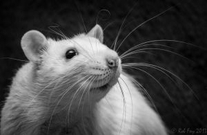 A Rat and his Whiskers by Arathrael