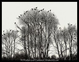 Crows in Birch Trees by DarkLiminality