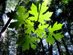 Leaves That Are Green by MadDragonPhoto