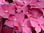 Pia, The Dwarf Hydrangea by laura-worldwide