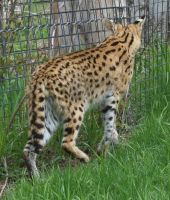 Tautphaus Zoo 63 Serval by Falln-Stock
