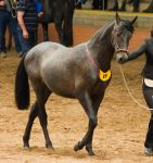 STOCK - 2014 Andalusian Nationals-97 by fillyrox