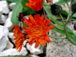 Orange Hawkweed by PomPrint