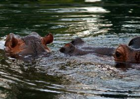 Baby Hippo and Mamma by TheInfernalDemon