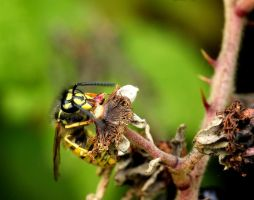 hungry like a wasp... by clochartist-photo