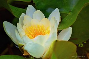 waterlily by sonafoitova