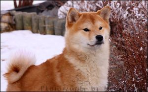 Snow speckled Shiba by cursedsight