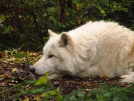 Arctic Wolf 6 by xCrystals