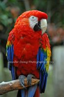 Molting Scarlet Macaw by MorrighanGW