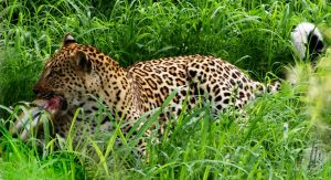 Leopard's Lunch by AfricanObserver