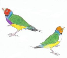Gouldian Finches by Anna-XIII