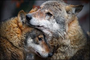 Wolf love by svarci