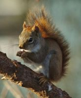 Red Squirrel by barcon53