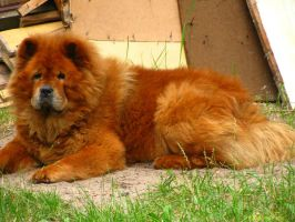 Chow Chow by auguratrix