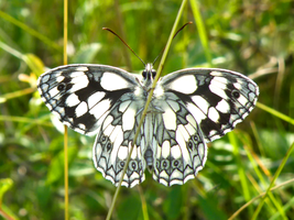 Butterfly Marbled White by Bhesi