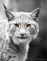 Lynx6 by PictureByPali