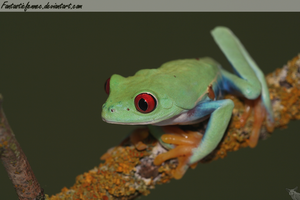 Red-Eyed Tree Frog by FantasticFennec
